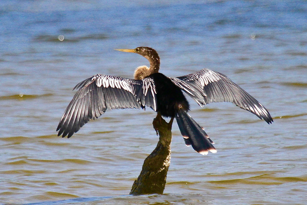 Anhinga in Belize