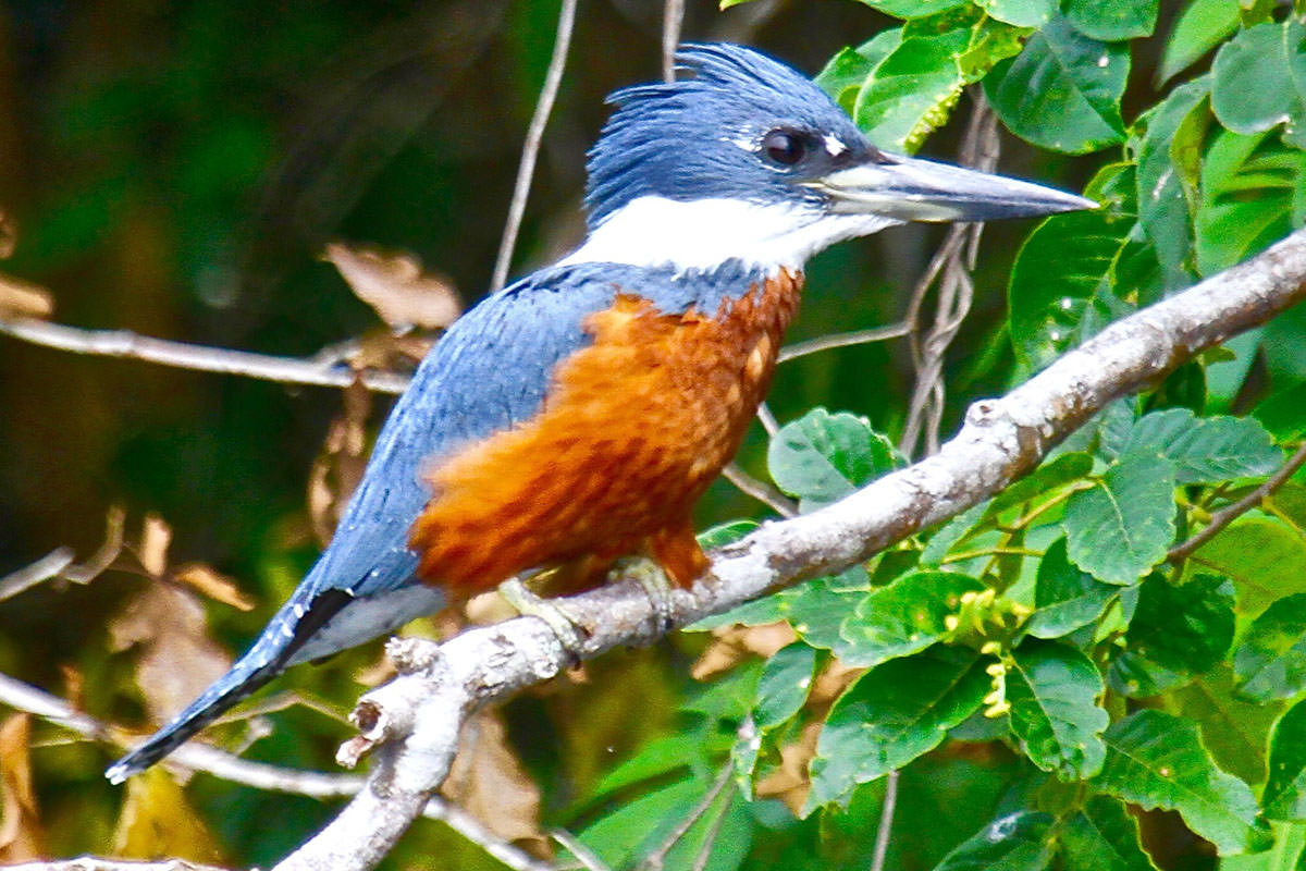 Ringed Kingfisher in Belize