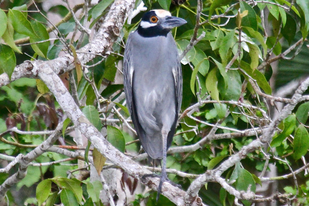 Yellow-crowned Night Heron in Belize