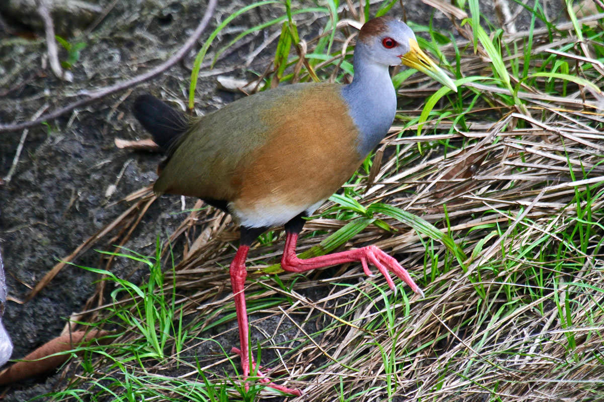 Gray-necked Wood-rail in Belize