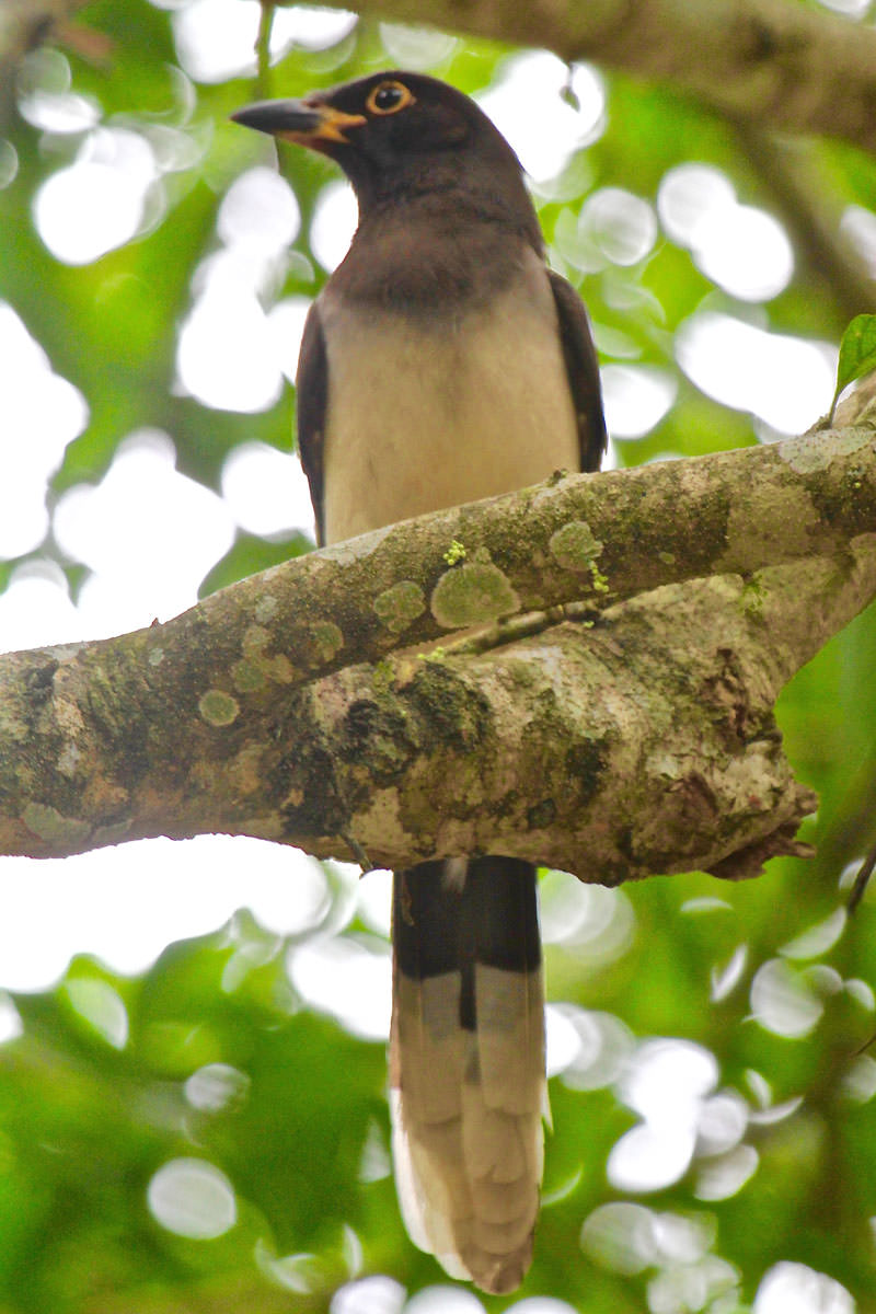Brown Jay in Belize