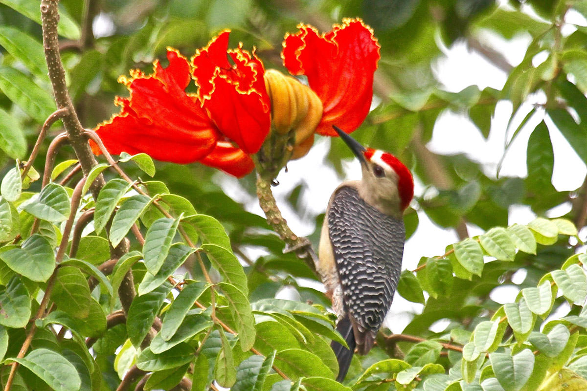 Golden-fronted Woodpecker in Belize