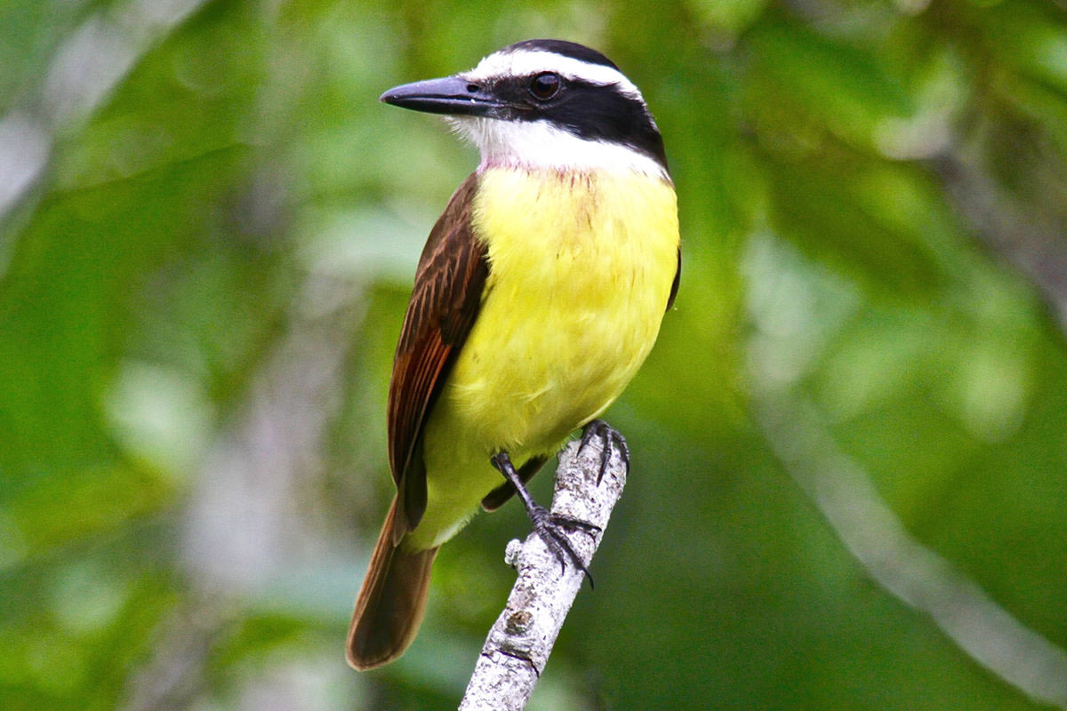 Great Kiskadee in Belize