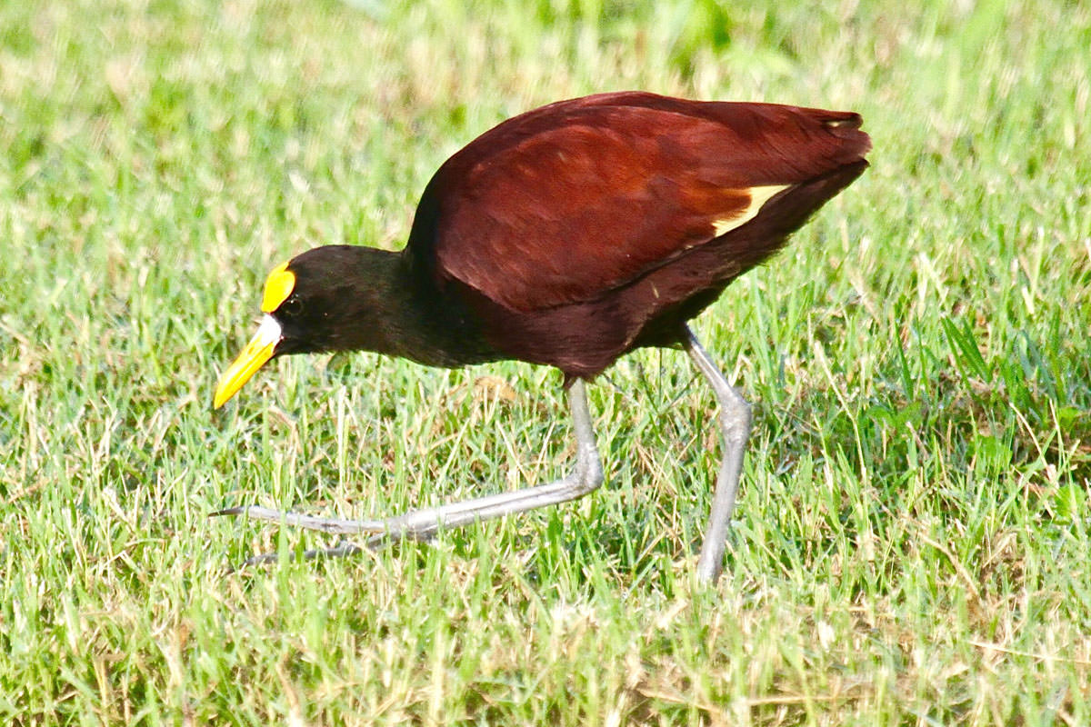 Northern Jacana in Belize