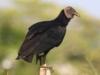 black-vulture
