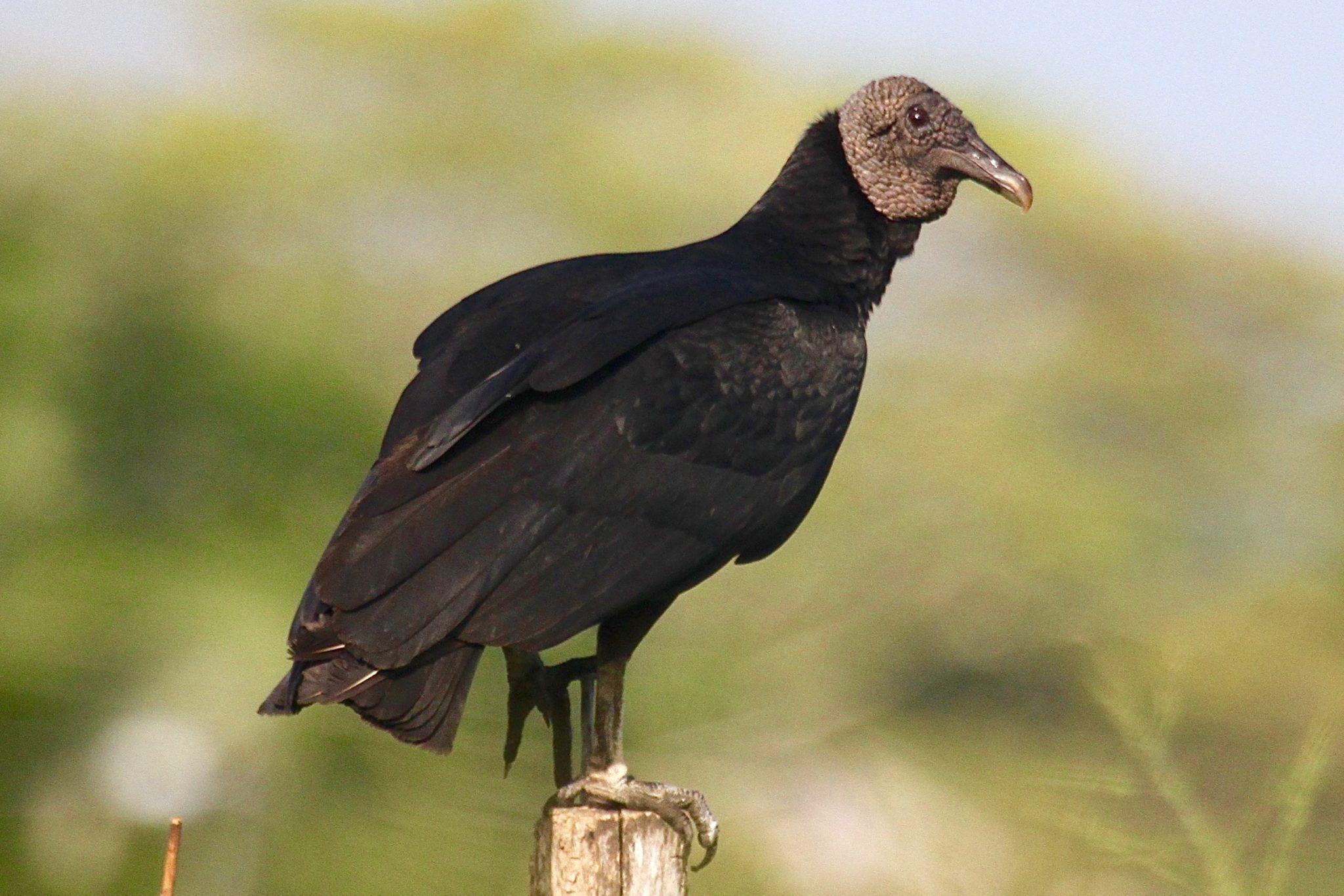 Black Vulture in Belize
