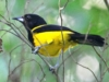 black-cowled-oriole-2