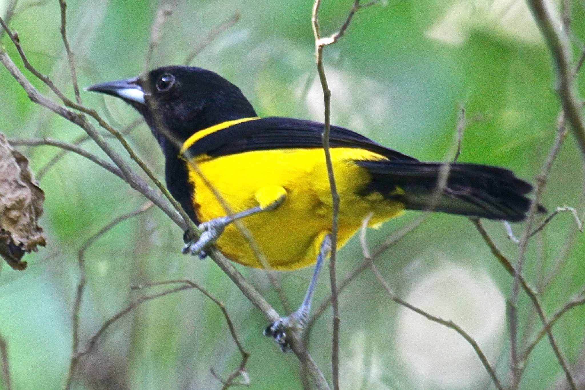 Black Cowled Oriole in Belize