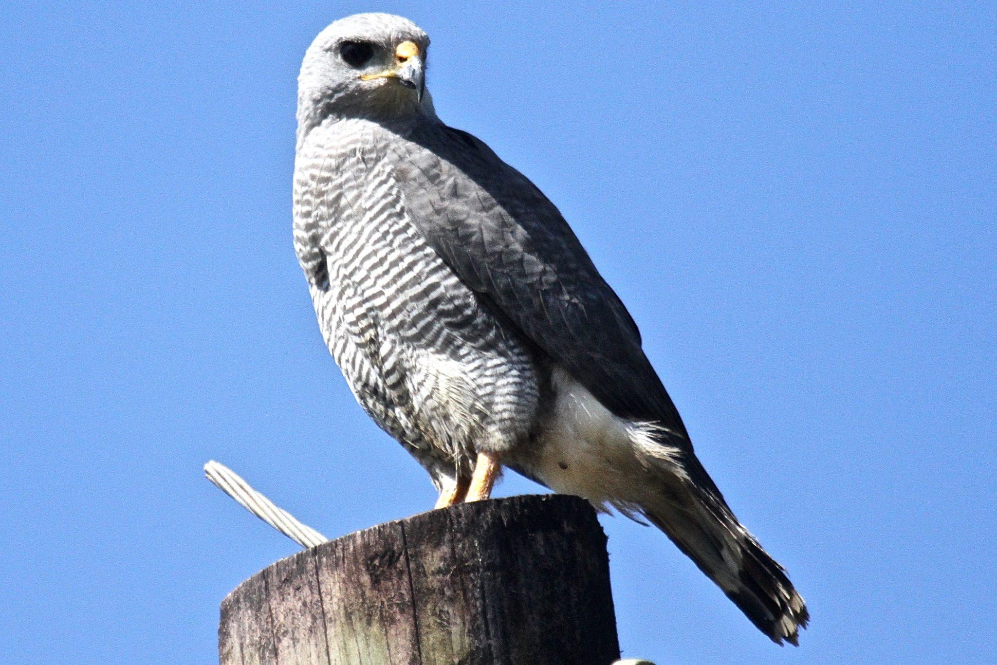 Gray Hawk in Belize