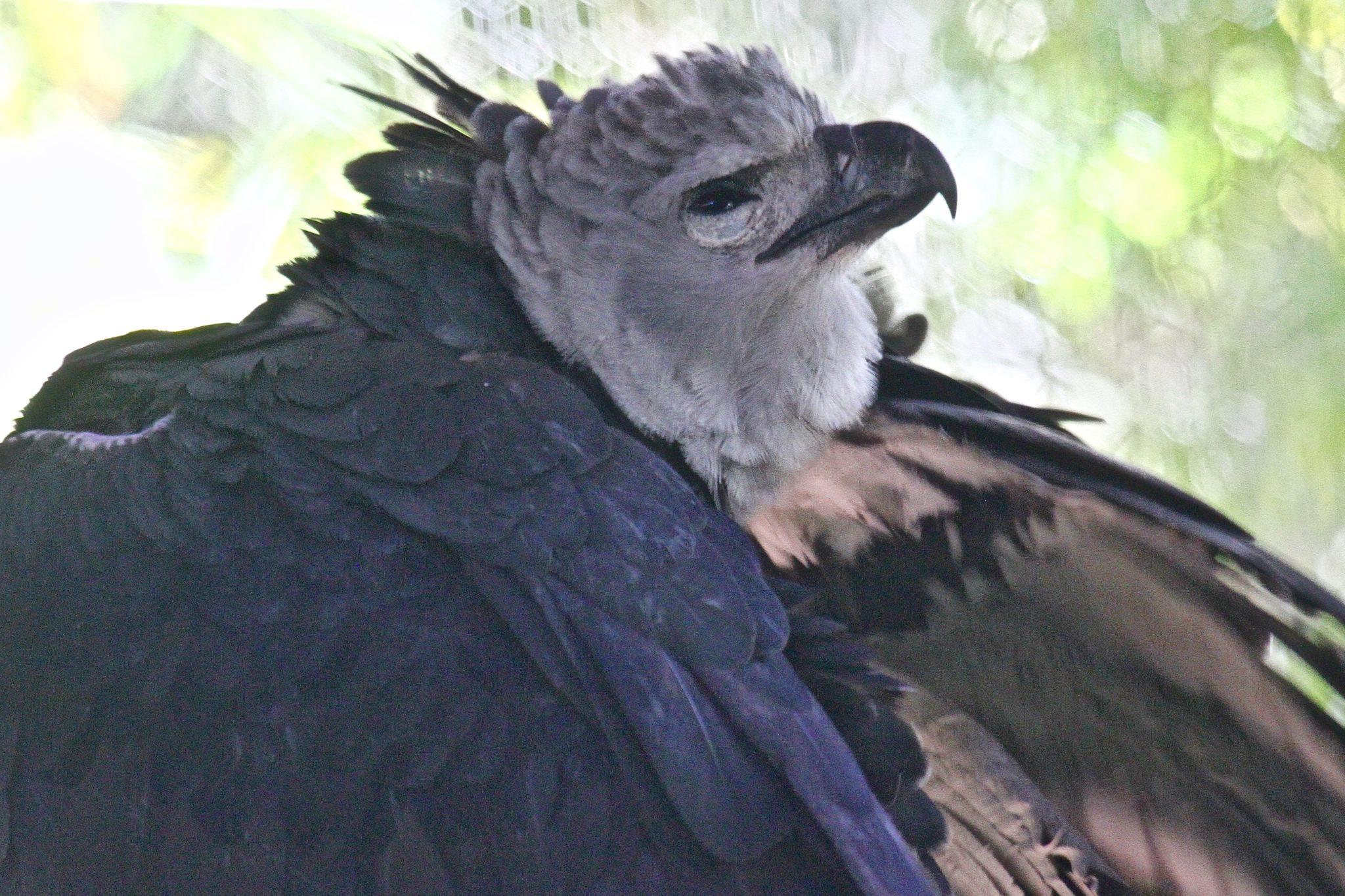 Harpy Eagle in Belize