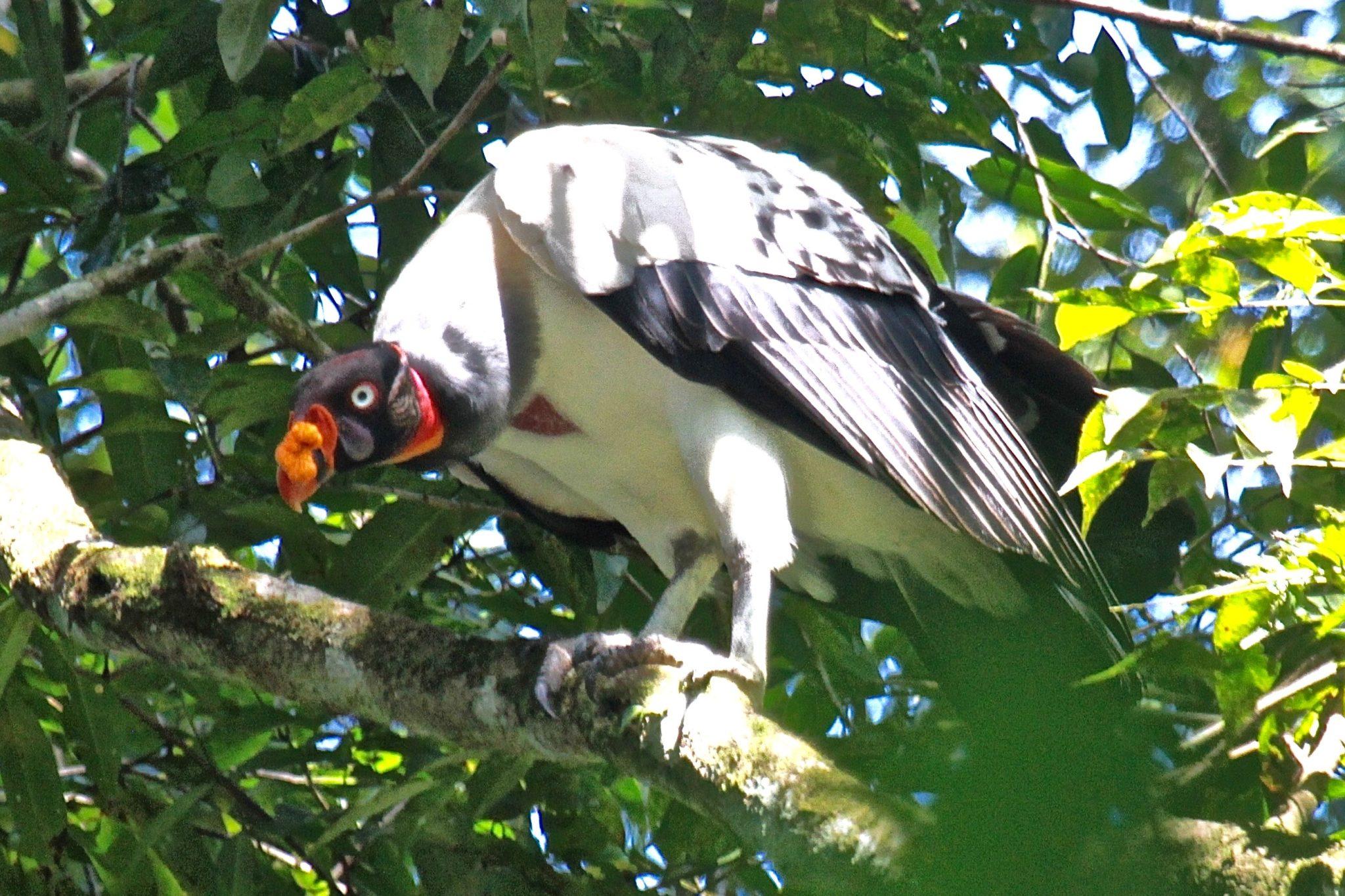King Vulture in Belize