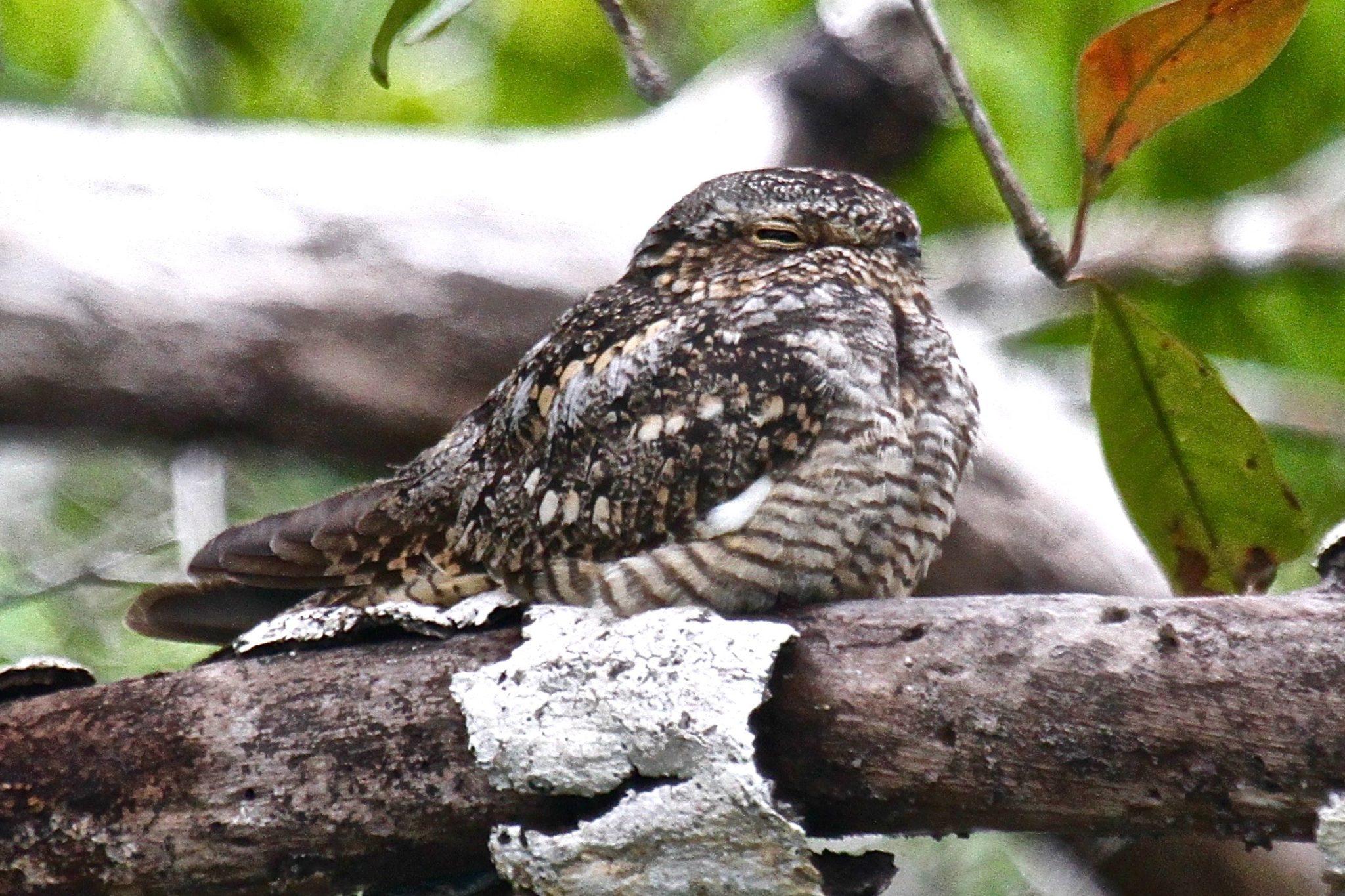 Lesser Nighthawk in Belize