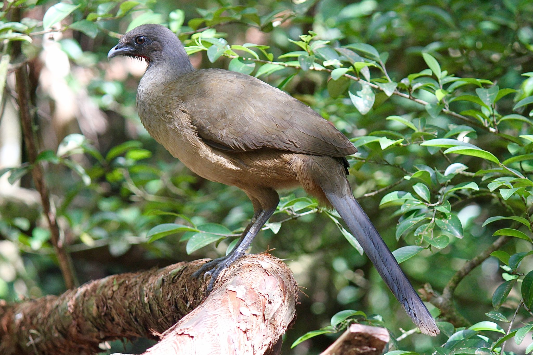 Plain Chachalaca in Belize