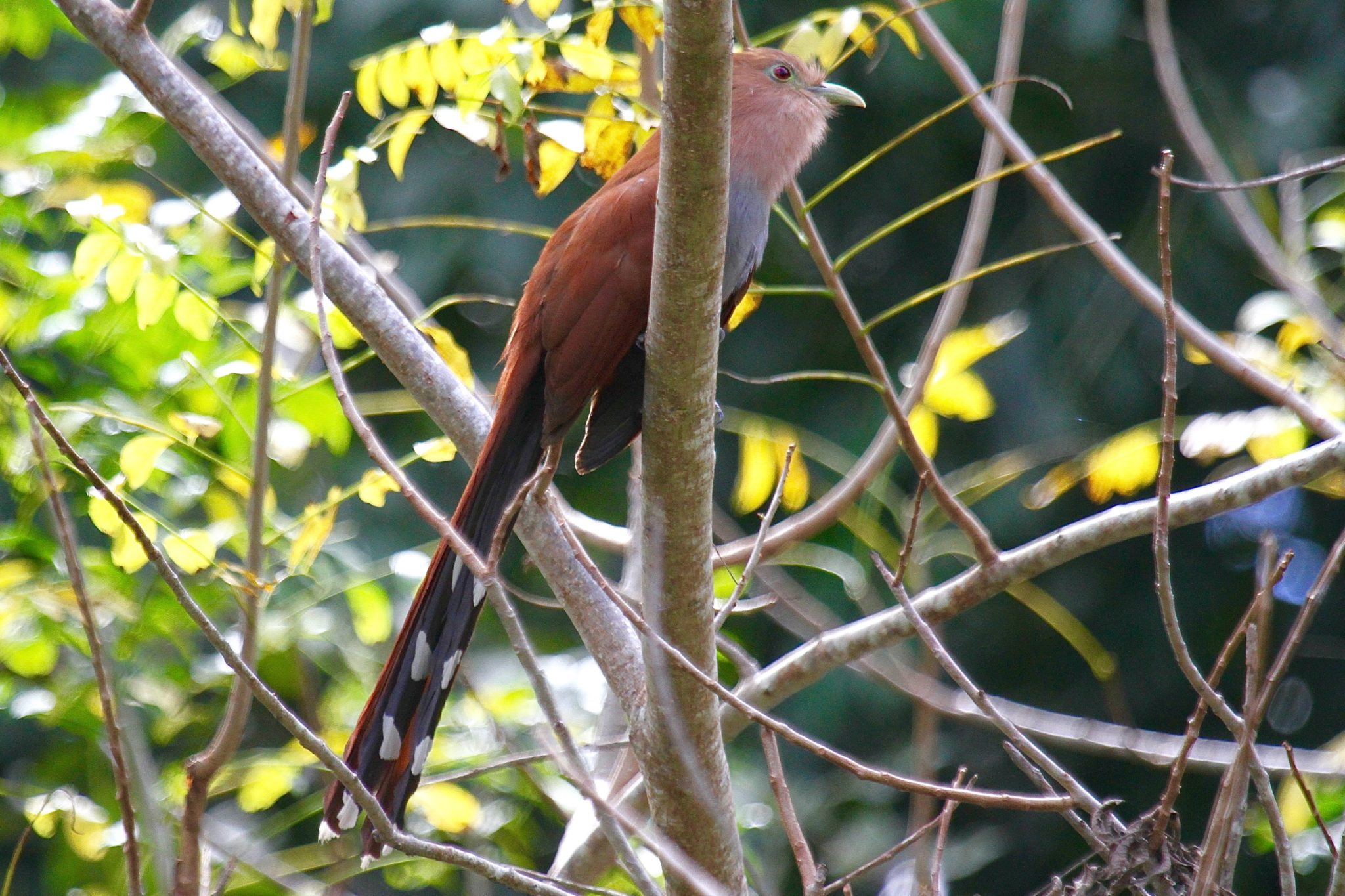 Squirrel Cuckoo in Belize