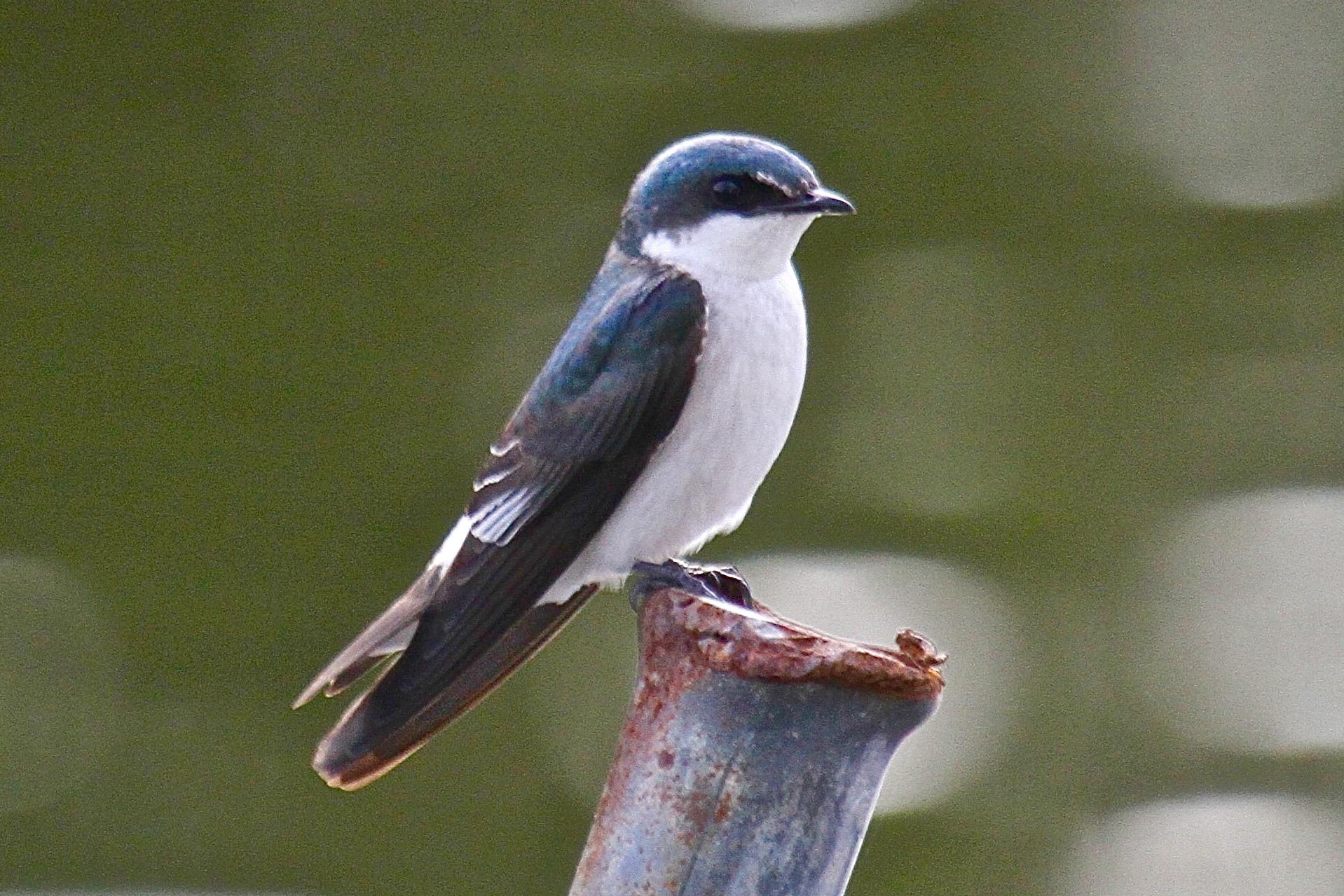 Tree Swallow in Belize