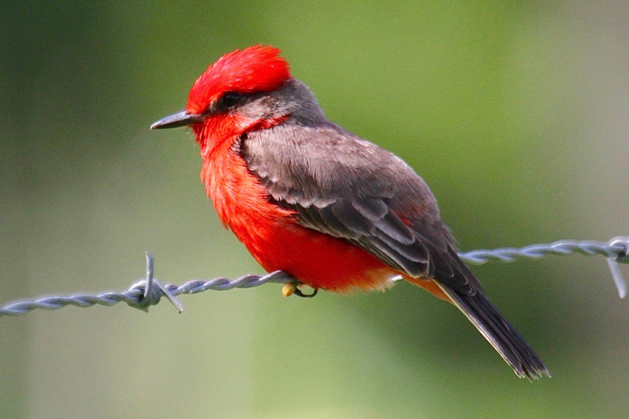 Vermilion Flycatcher in Belize