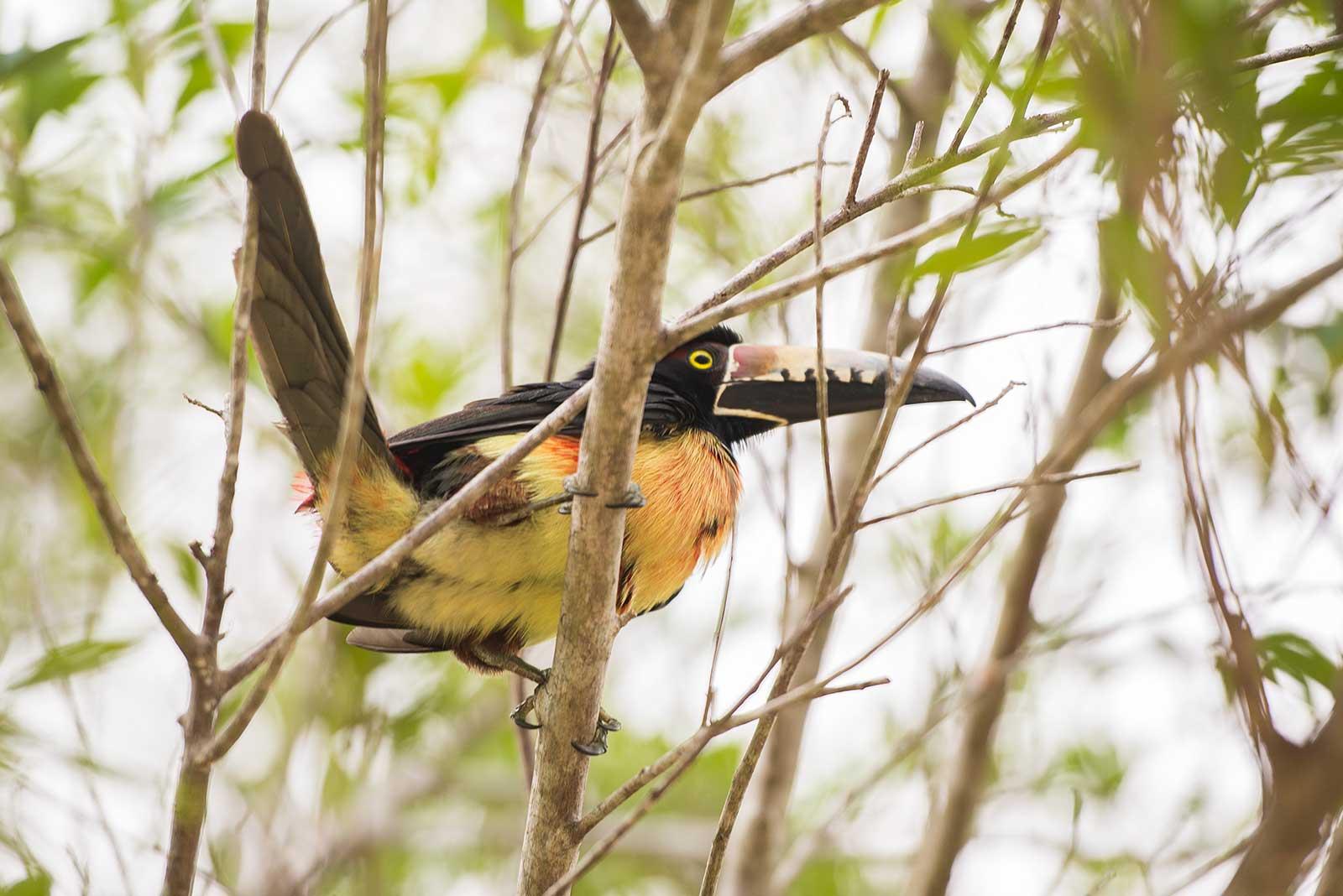 Collared Aracari, Northern Belize